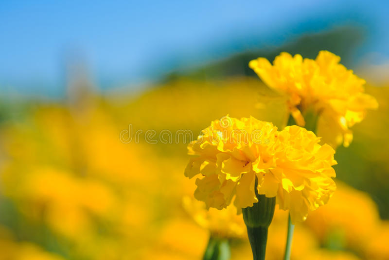 Flor de la maravilla africana en granja fotos de archivo
