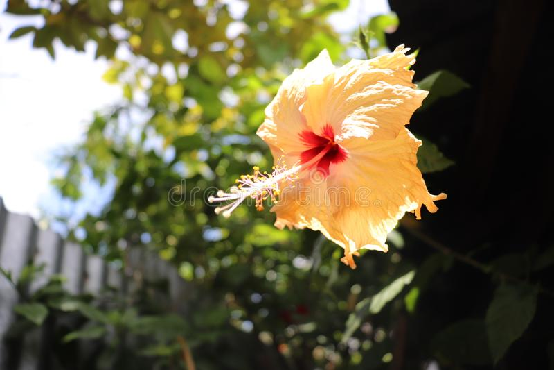 Flor de la maravilla imagenes de archivo