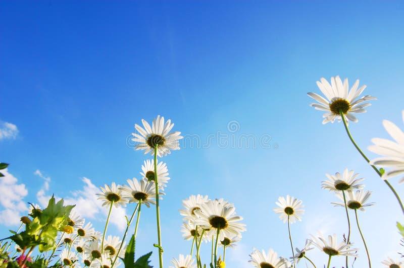 Flor de la margarita bajo el cielo azul imagen de archivo