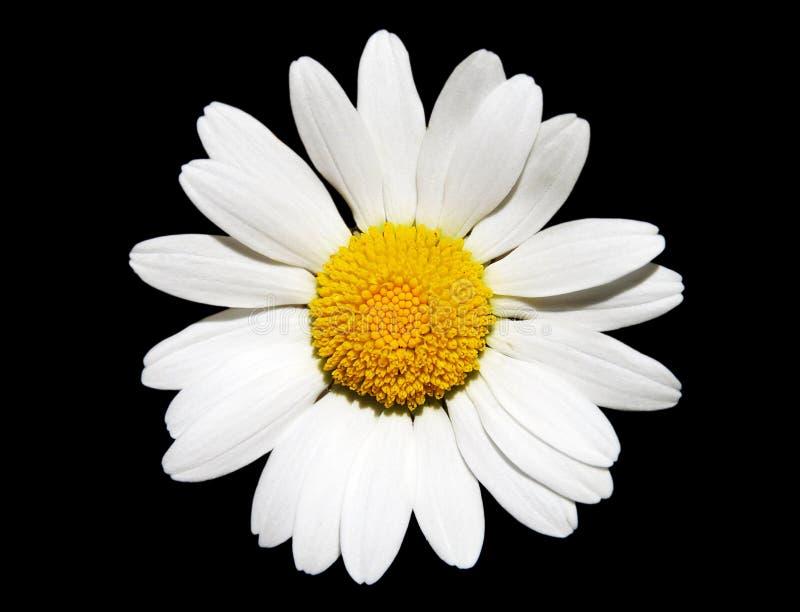 Flor de la margarita blanca imágenes de archivo libres de regalías