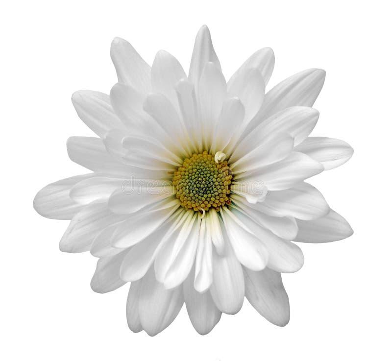 Flor de la margarita blanca foto de archivo libre de regalías