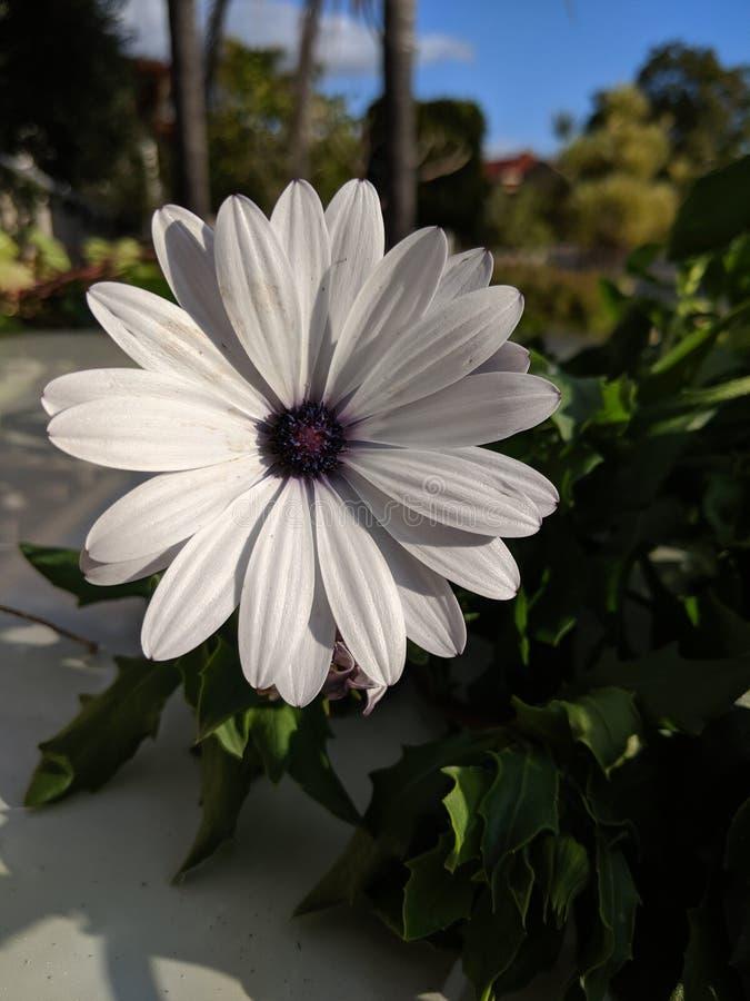 Flor de la margarita blanca con el centro oscuro fotos de archivo