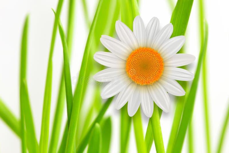 Flor de la margarita blanca del whith de la hierba del fondo de la flor ilustración del vector