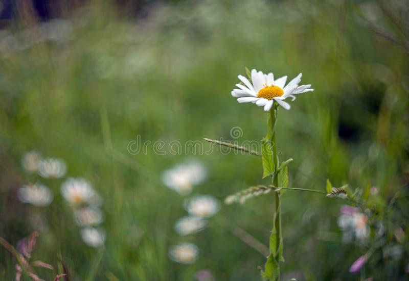 Flor de la margarita con el fondo borroso de la hierba fotografía de archivo libre de regalías