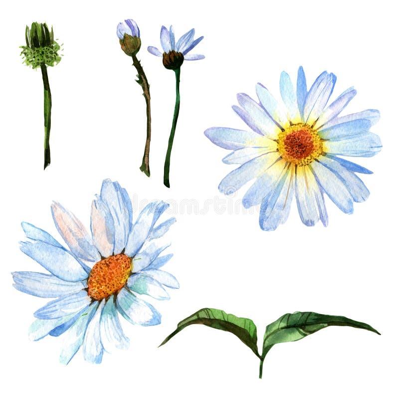 Flor de la margarita del Wildflower en un estilo de la acuarela aislada stock de ilustración