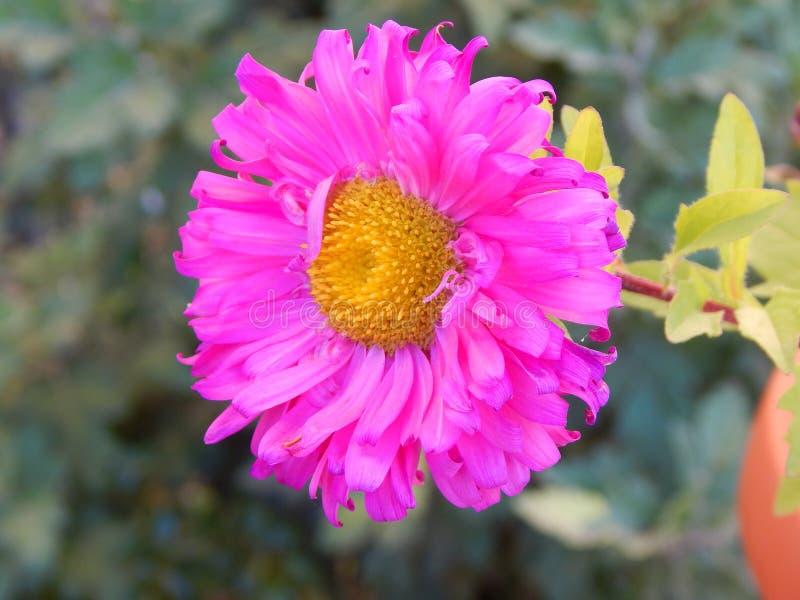 Flor de la margarita en Gheorgheni fotos de archivo