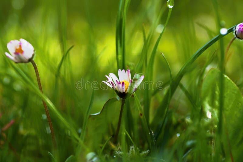 Flor de la margarita en hierba cubierta de rocio foto de archivo libre de regalías