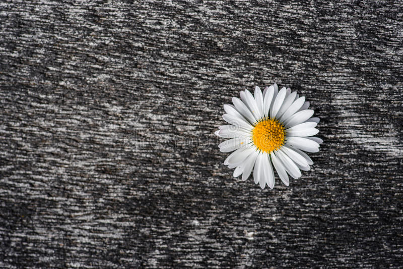 Flor de la margarita en una superficie áspera imagen de archivo