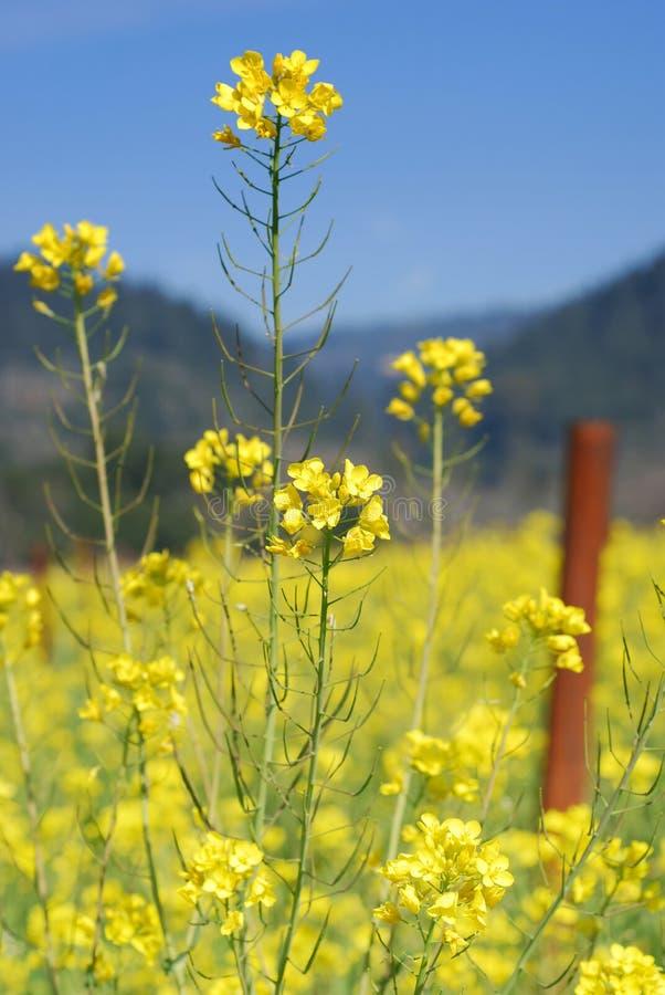 Flor de la mostaza foto de archivo libre de regalías