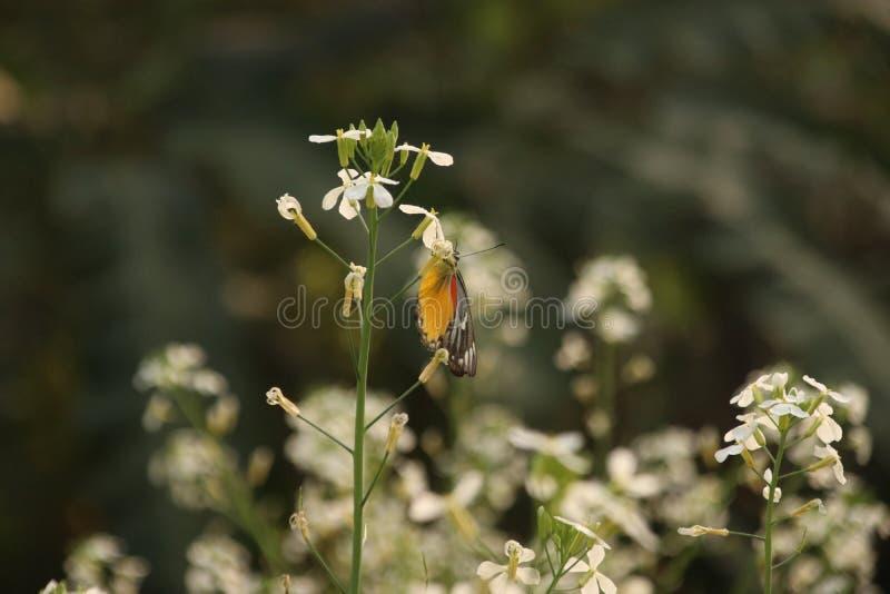 Flor de la mostaza usted debe tener gusto de ella foto de archivo