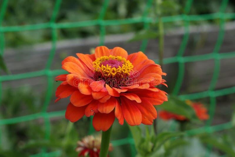 Flor de la naranja del Zinnia imágenes de archivo libres de regalías