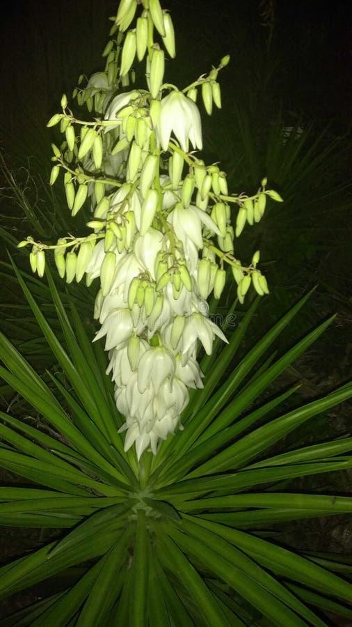 Flor de la noche fotos de archivo