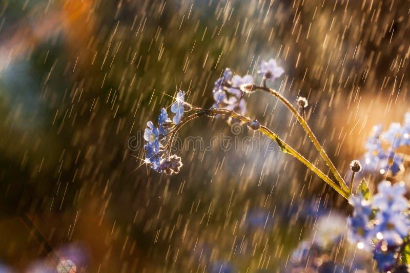 Flor de la nomeolvides fotos de archivo