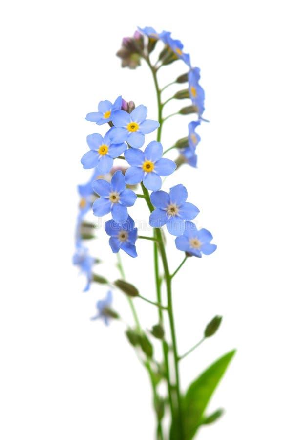 Flor de la nomeolvides en blanco imagen de archivo