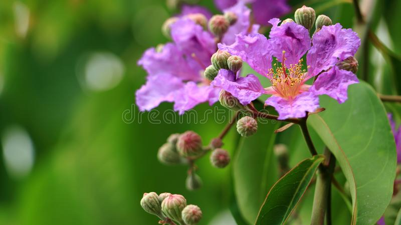 Flor de la flor o de Inthanin de la reina en el speciosa L de Tailandia y del Lagerstroemia Pers El arbol de Jupiter de la reina, fotografía de archivo