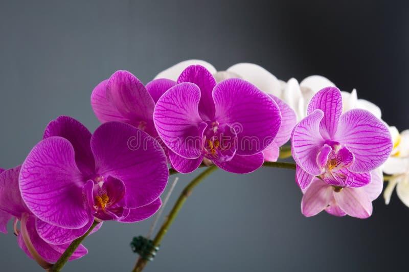 Flor de la orquídea fotografía de archivo libre de regalías