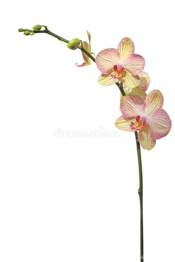 Flor de la orquídea, aislada en blanco foto de archivo libre de regalías