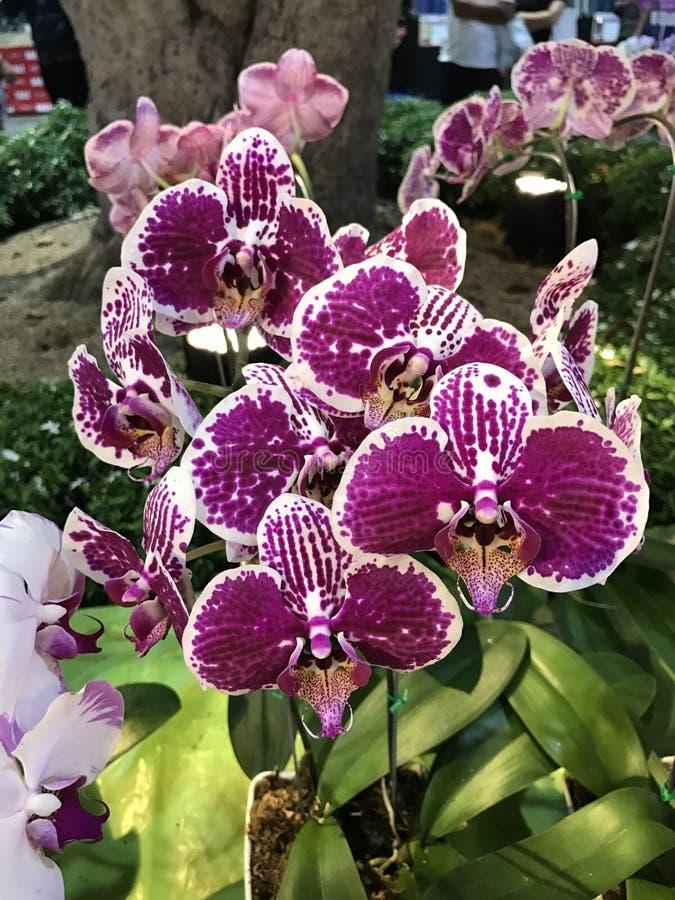 Flor de la orquídea del Phalaenopsis foto de archivo