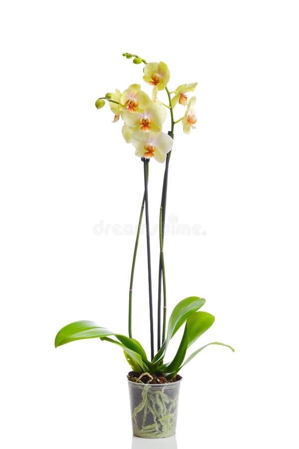 Flor de la orquídea en el pote imagen de archivo