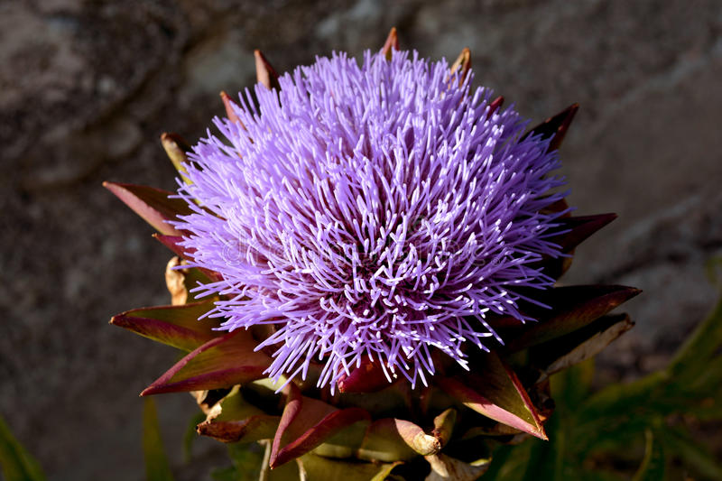 Flor de la púrpura de la alcachofa imagen de archivo libre de regalías