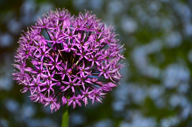 Flor de la púrpura del allium fotos de archivo