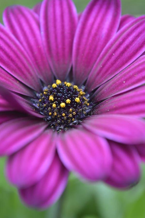 Flor de la púrpura del jardín de Osteospermum interior foto de archivo