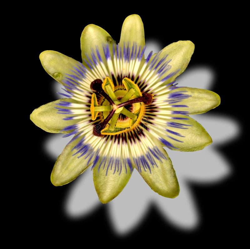Flor de la pasión fotografía de archivo libre de regalías