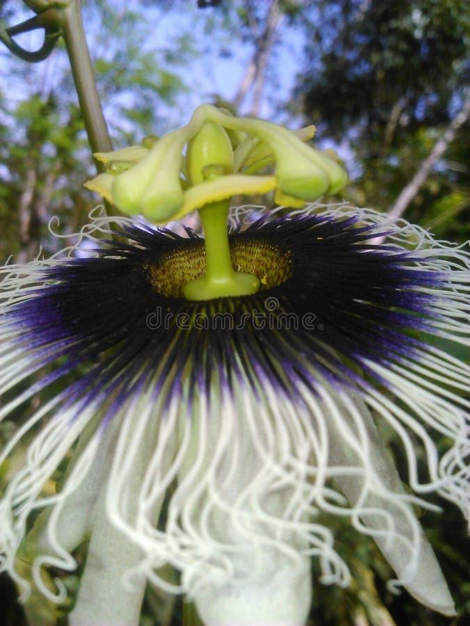 Flor de la pasión - ¡de Flor de maracuyà foto de archivo libre de regalías
