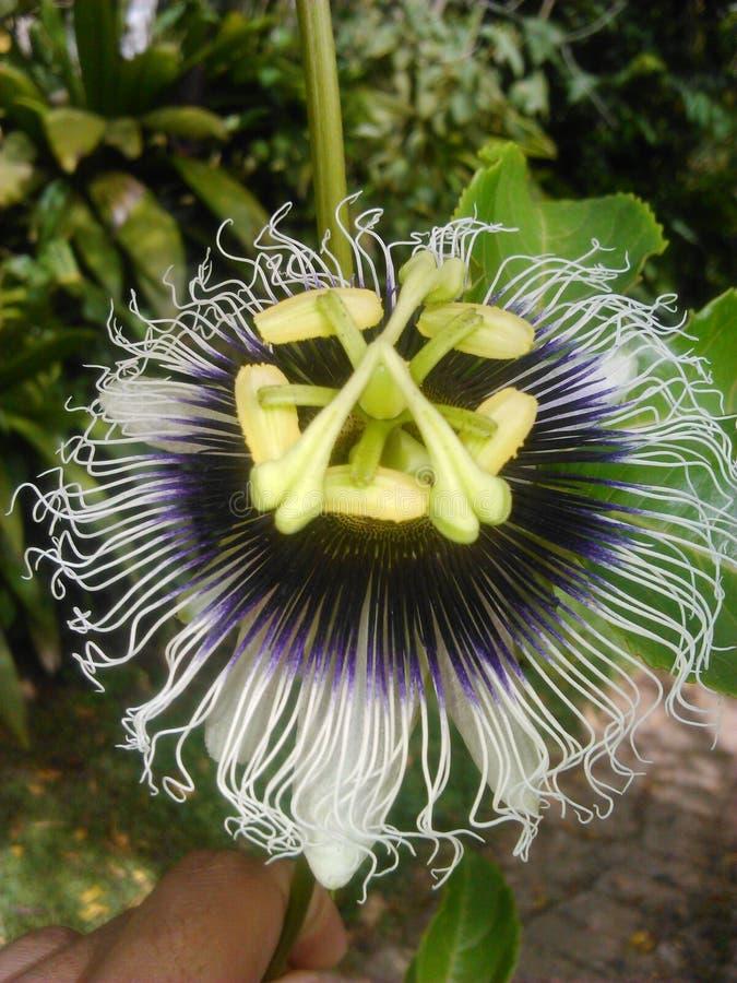 Flor de la pasión - ¡de Flor de maracuyà imágenes de archivo libres de regalías