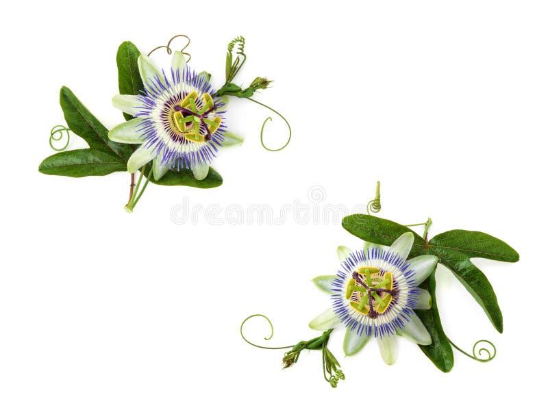 Flor de la pasión en blanco fotos de archivo libres de regalías
