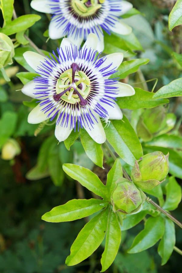 Flor de la pasión en caerulea de la pasionaria de la floración imagenes de archivo