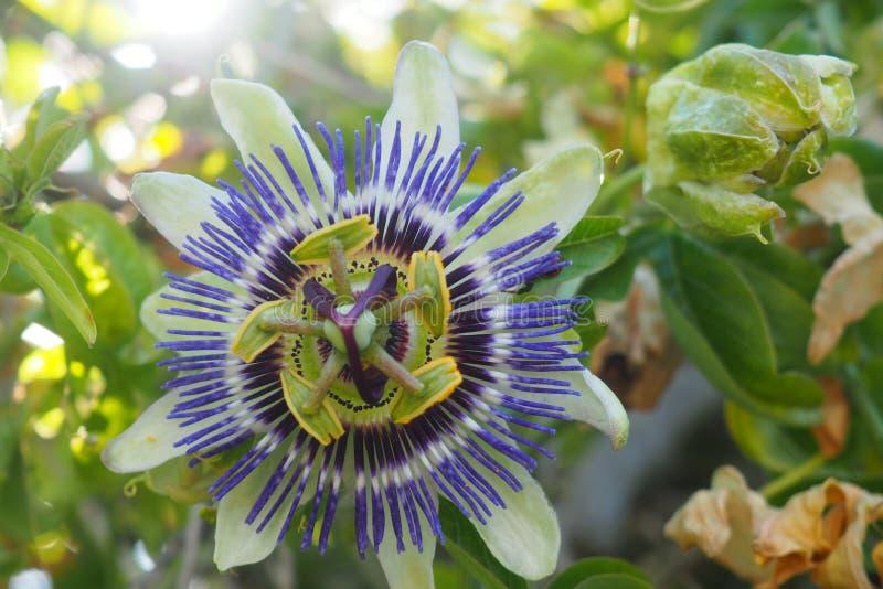 Flor de la pasión o de la pasión fotos de archivo libres de regalías