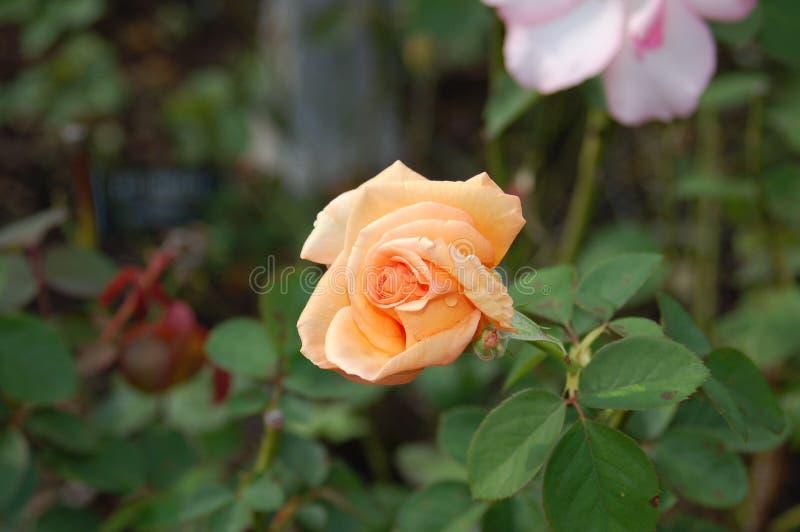 Flor de la paz en flor media y blanca con extremidades rosadas detrás fotos de archivo libres de regalías