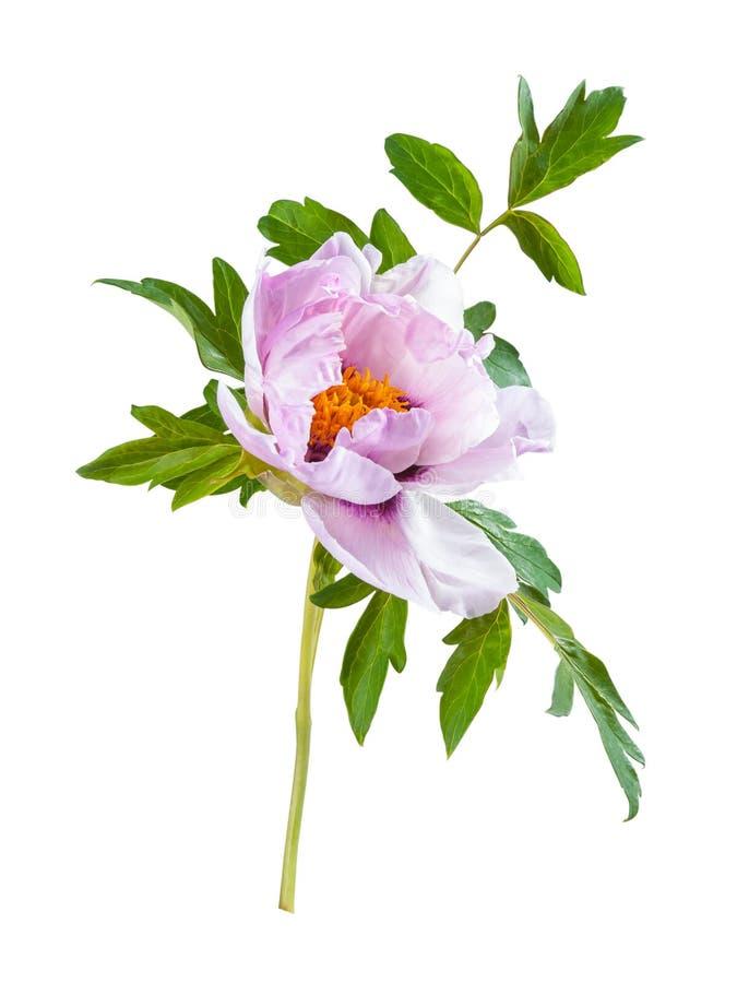 Flor de la peonía aislada fotos de archivo libres de regalías