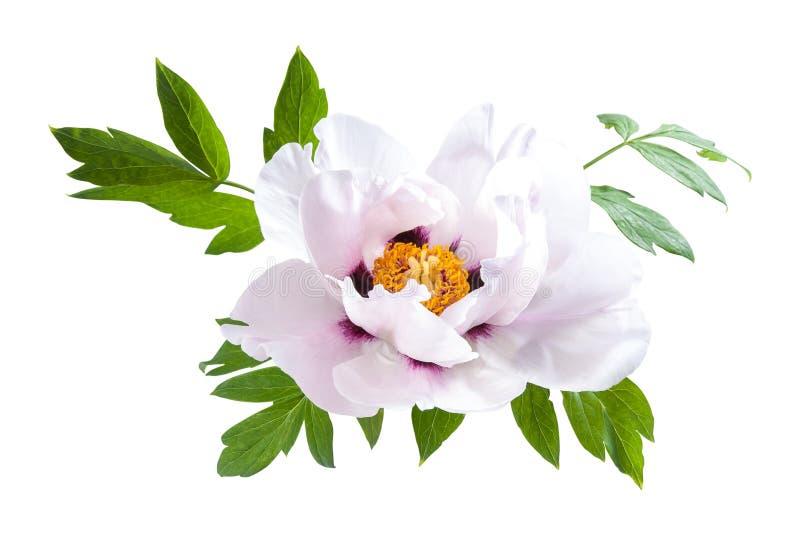 Flor de la peonía con las hojas verdes imagenes de archivo