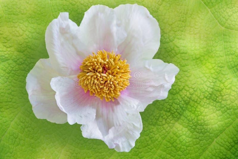 Flor de la peonía contra fondo verde ondulado de la hoja imagenes de archivo