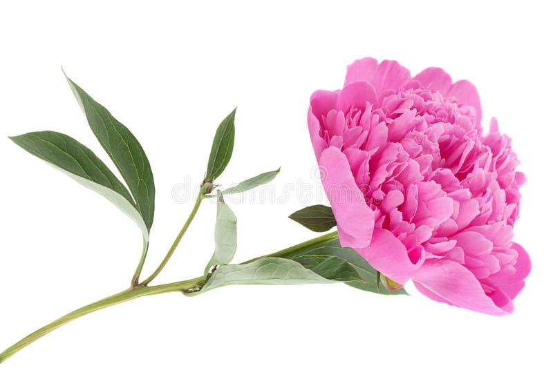 Flor de la peonía en blanco foto de archivo libre de regalías