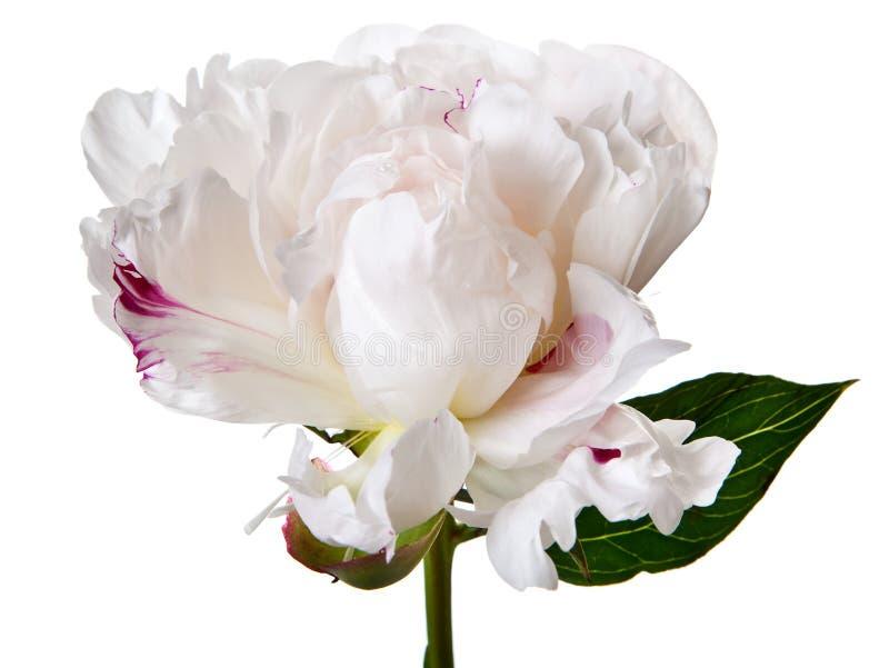 Flor de la peonía en el fondo blanco fotos de archivo