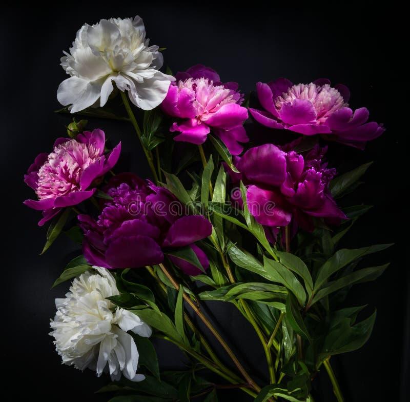 Flor de la peonía en fondo negro imagen de archivo
