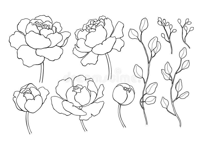 Flor de la peonía y dibujo lineal de las hojas Esquema dibujado mano del vector libre illustration