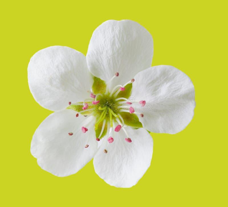 Flor de la pera imágenes de archivo libres de regalías