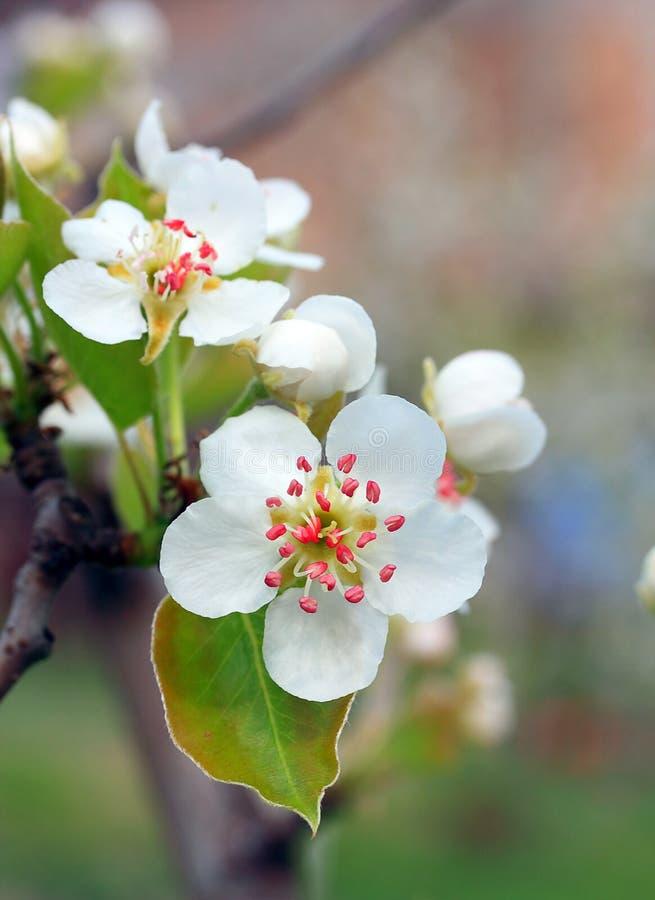 Flor de la pera fotografía de archivo libre de regalías