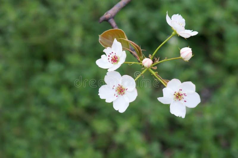 Flor de la pera foto de archivo libre de regalías