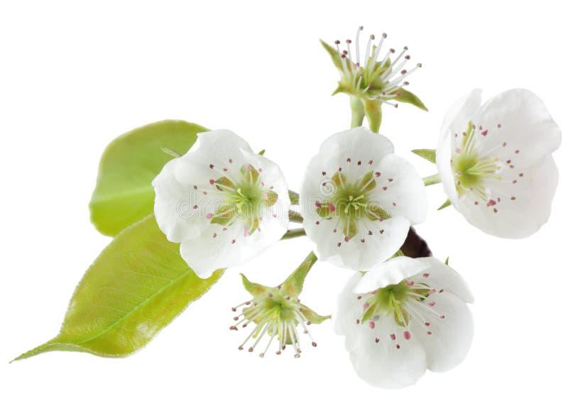 Flor de la pera fotos de archivo libres de regalías