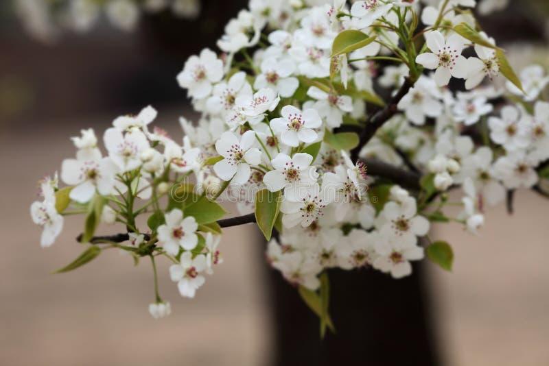 Flor de la pera en abril imagen de archivo