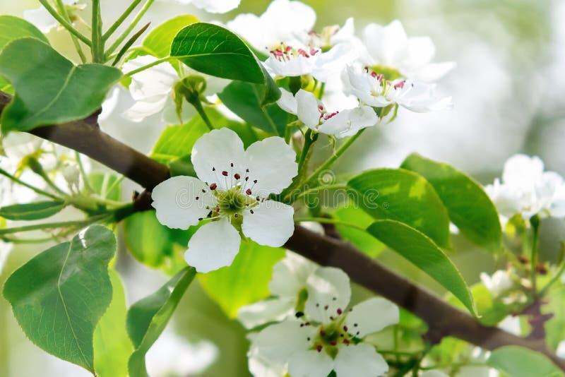 Flor de la pera en cierre del jardín de la primavera para arriba imagenes de archivo