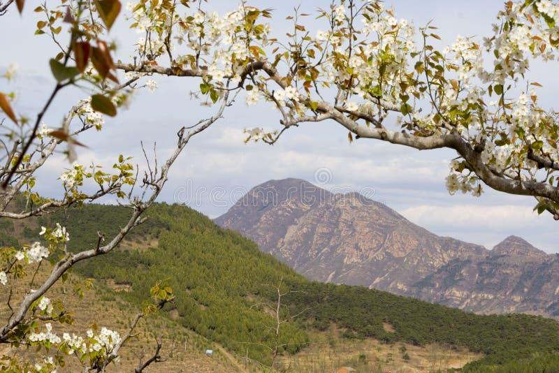 Flor de la pera en montaña imagenes de archivo