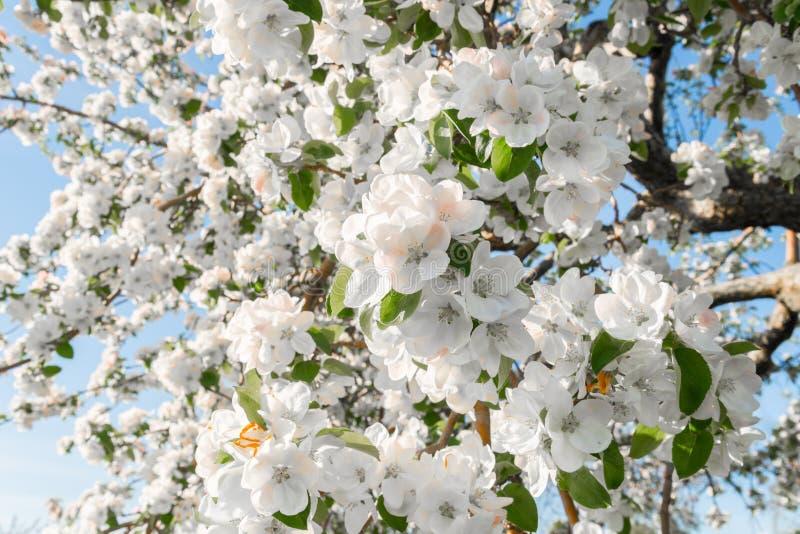 Flor de la pera en primavera fotografía de archivo libre de regalías