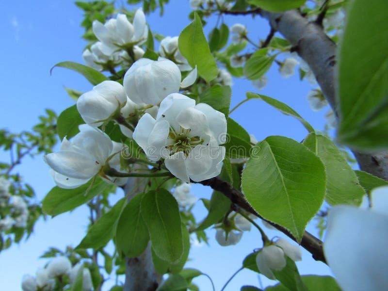 Flor de la pera en rama en primavera Cielo azul primer imagen de archivo libre de regalías