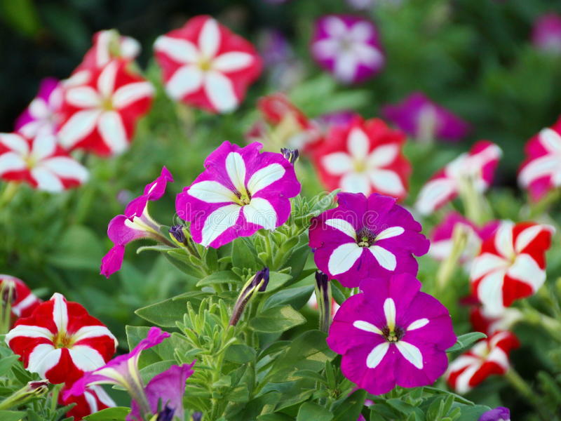 Flor de la petunia fotos de archivo